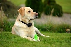 Labrador retriever Images stock