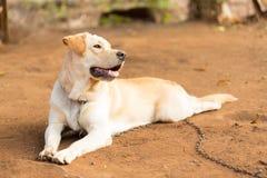 Labrador retriever Stockfoto