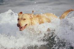Labrador retriever Imagem de Stock