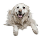 Labrador Retriever, 6 and a half years old, lying Stock Photo