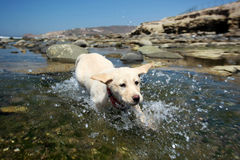 labrador retriever Royaltyfria Bilder