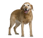 Labrador retriever, 8 years old, standing Stock Images