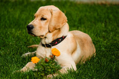 Labrador retriever. Laying in the grass stock photos