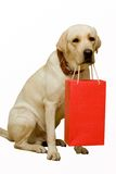 Labrador (retriever) Royalty Free Stock Photo