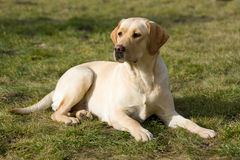 Labrador retriever. Royalty Free Stock Photography