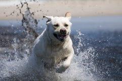 Labrador retriever in action Royalty Free Stock Photos