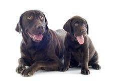 Labrador retriever, adulto y perrito Fotos de archivo