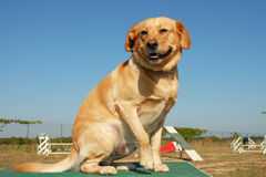 Labrador retriever in agility Royalty Free Stock Photos