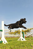 Labrador retriever in agility Stock Photo
