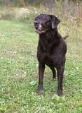 Labrador retriever alerta del chocolate Foto de archivo libre de regalías