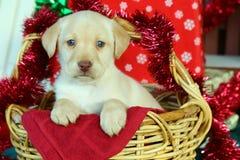 Labrador retriever amarelo na cesta com decorações do Natal Foto de Stock Royalty Free