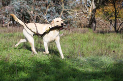 Labrador retriever amarelo que joga com uma vara fotografia de stock royalty free