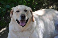 Labrador retriever amarillo fotografía de archivo libre de regalías