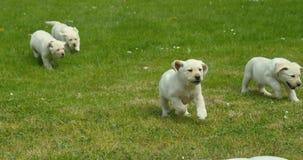 Labrador retriever amarillo, grupo de perritos que corren en el césped, Normandía en Francia, cámara lenta almacen de video