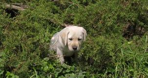 Labrador retriever amarillo, perrito en la vegetación, Normandía, cámara lenta almacen de video