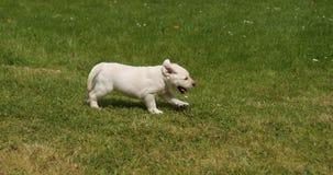 Labrador retriever amarillo, perrito que corre en el césped, Normandía en Francia, cámara lenta almacen de metraje de vídeo