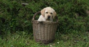 Labrador retriever amarillo, perrito que juega en una cesta, Normandía, cámara lenta almacen de video