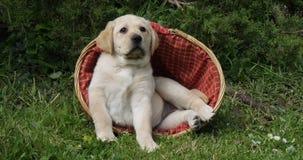 Labrador retriever amarillo, perrito que juega en una cesta, Normandía, cámara lenta almacen de metraje de vídeo