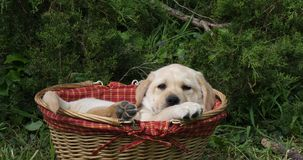 Labrador retriever amarillo, perrito que juega en una cesta, Normandía, cámara lenta metrajes