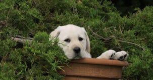 Labrador retriever amarillo, perrito que juega en una maceta, Normandía, cámara lenta metrajes