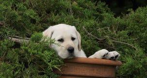 Labrador retriever amarillo, perrito que juega en una maceta, Normandía, cámara lenta almacen de video