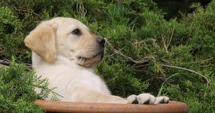 Labrador retriever amarillo, perrito que juega en una maceta, Normandía, cámara lenta almacen de metraje de vídeo