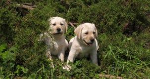 Labrador retriever amarillo, perritos en la vegetación, Normandía, cámara lenta almacen de metraje de vídeo