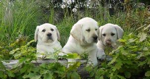 Labrador retriever amarillo, perritos en la vegetación, Normandía en Francia, cámara lenta metrajes