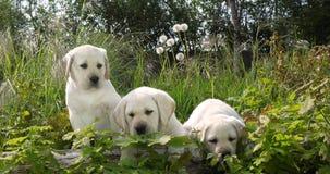 Labrador retriever amarillo, perritos en la vegetación, Normandía en Francia, cámara lenta almacen de video