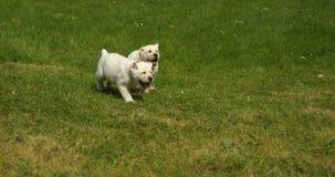 Labrador retriever amarillo, perritos que corren en el césped, Normandía en Francia, cámara lenta metrajes