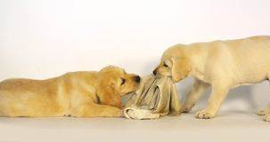 Labrador retriever amarillo, perritos que juegan con una toalla de plato en el fondo blanco, Normandía, cámara lenta almacen de metraje de vídeo