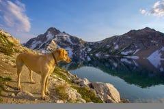 Labrador retriever amarillo que camina en las montañas del diente de sierra, Idaho Imagenes de archivo