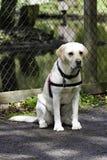 Labrador retriever amarillo que se sienta delante de una cerca Foto de archivo