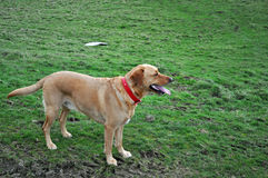 Labrador retriever attendant la commande images stock