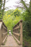 Labrador retriever auf der Brücke Lizenzfreies Stockbild