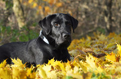 Labrador Retriever in the autumn Royalty Free Stock Images