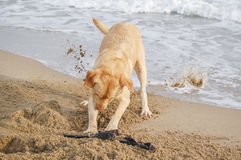 Labrador retriever on the beach. Labrador retriever digging a hole on the beach Stock Photos