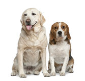 Labrador retriever and Beagle Stock Images