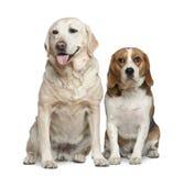 Labrador retriever and Beagle Stock Images