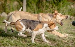 Labrador retriever and Beagle dog Royalty Free Stock Images