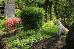 Labrador retriever. stock image