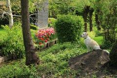 Labrador retriever. royalty free stock photos