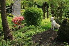 Labrador retriever. royalty free stock photo