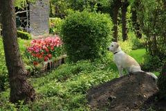 Labrador retriever. royalty free stock photography