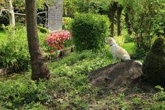 Labrador retriever. stock photography