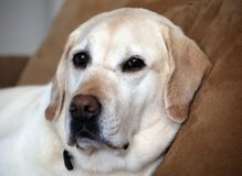 Labrador retriever best friend family dog. Laying in couch relaxing Royalty Free Stock Image