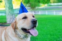 Labrador retriever with birthday hat Royalty Free Stock Image