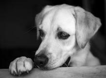 Labrador Retriever. On a black background Stock Images