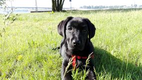 Labrador Royalty Free Stock Image
