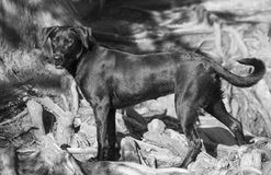 Labrador-retriever breed dog at red bud isle, austin texas Royalty Free Stock Image